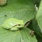 European tree frog by Peter Wiggerman