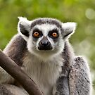 Eye contact with a Lemur! by imagic