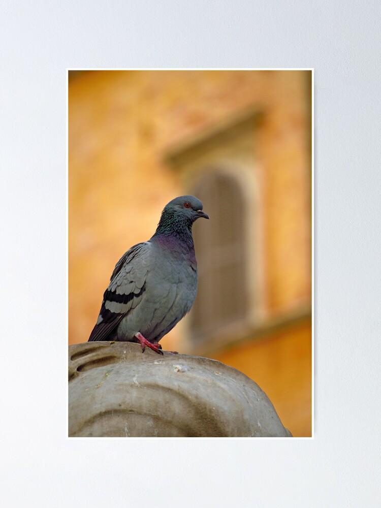 Alternate view of Posing Pigeon Poster