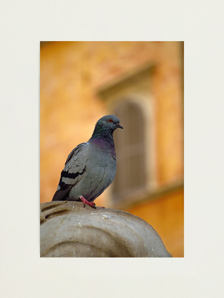 Alternate view of Posing Pigeon Photographic Print