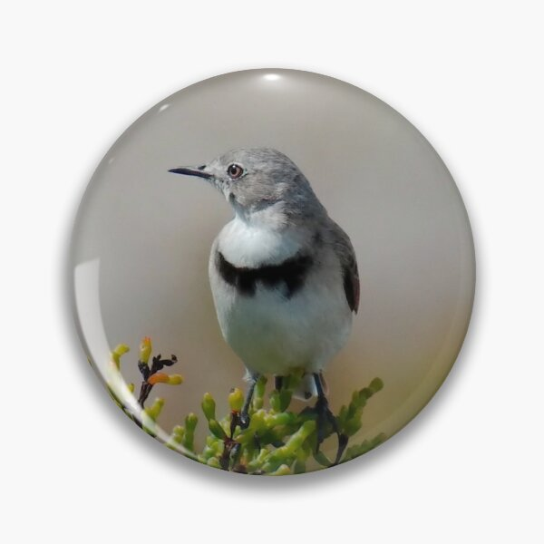 CHAT ~ White-fronted Chat DJI3MM6EW4H by David Irwin 060819 Pin