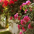 Picket Fence Roses by Jessica Jenney