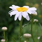 White Shasta Daisy With Buds by kkphoto1