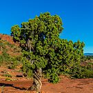 Cathedral Rock - Juniper Pine 2 by eegibson