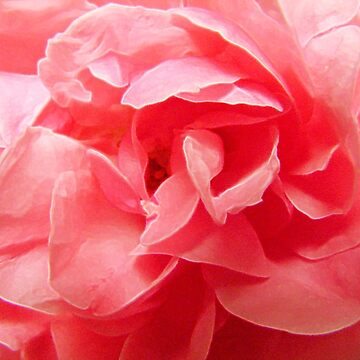 filled pink rose / doubleflowered pinky rose by bepi