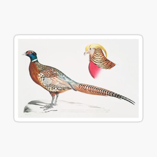 Chinese Ring-necked Pheasant (Phasianus Torquatus/ Head of the Common Golden Pheasant (Chrysolophus Pictus) Sticker