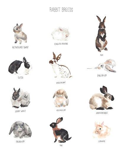 Quot Rabbit Breeds Quot Posters By Amandaupp Redbubble