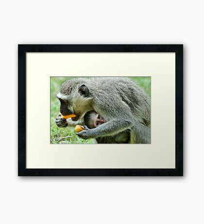 GROWN-UPS ALWAYS GETS THE BEST - Vervet Monkey, (CERCOPITHECUS PYGERYTHRUS) BLOU AAP Framed Print