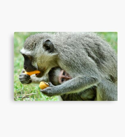 GROWN-UPS ALWAYS GETS THE BEST - Vervet Monkey, (CERCOPITHECUS PYGERYTHRUS) BLOU AAP Canvas Print