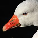 Domestic goose on Llangollen canal by turniptowers