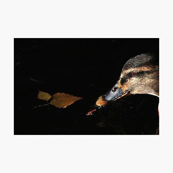 Close-up of female mallard on Llangollen Canal Photographic Print