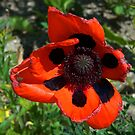 Poppy in the sun by Ian Mitchell