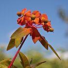 Euphorbia by John Thurgood