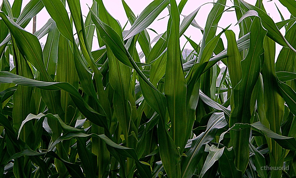 Corn Field - Up Close and Personal by ctheworld