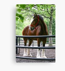 Clydesdale Canvas Print