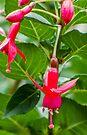 Red Fuchsia by DPalmer