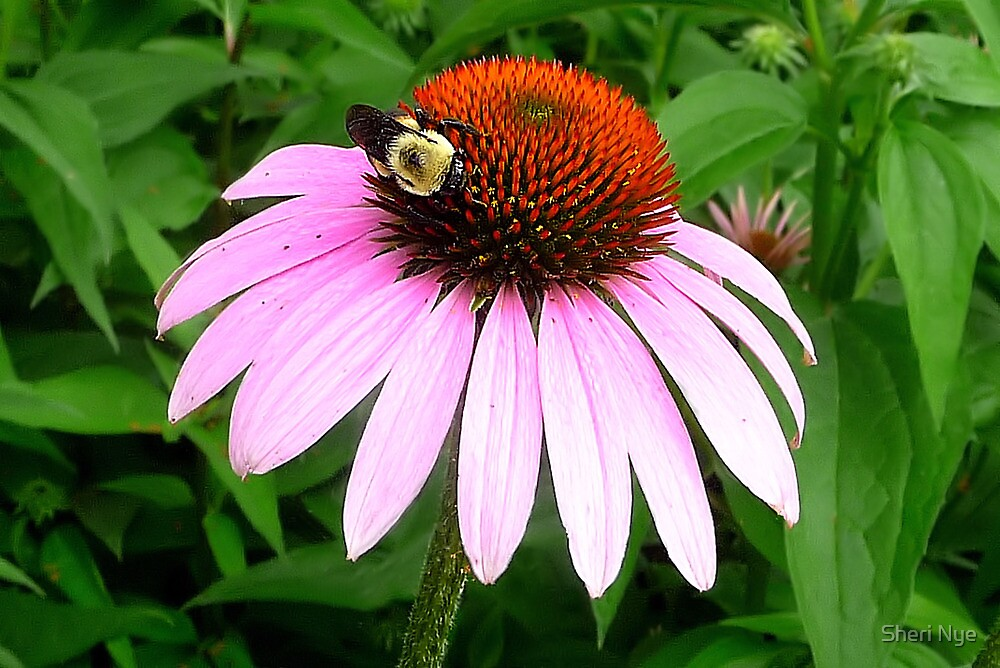 Purple Cone Flower with Bumblebee  by Sheri Nye