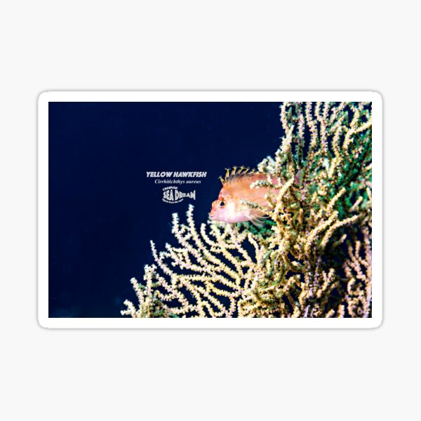 Cute Yellow Hawkfish on  the sea-fan. Sticker