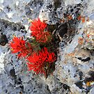 Indian Paintbrush  by Arla M. Ruggles