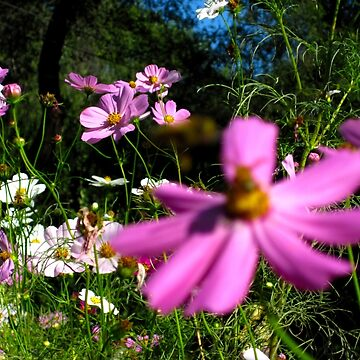 Tall Spring Cosmos by Leennascreative
