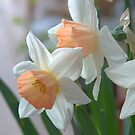 Delicate Daffodils  by K D Graves Photography