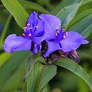 Blue Spiderwort by T.J. Martin