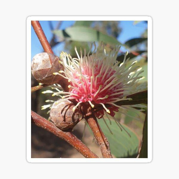 Hakea Laurina - Pin Cushion flower in Western Australia Sticker