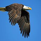 Bald Eagle in Flight ! by Anthony Goldman