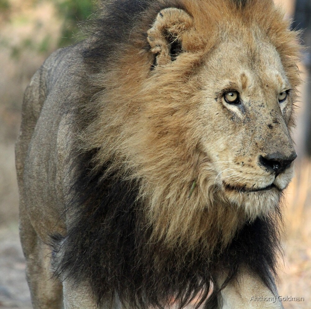 King of the sabi sands! by Anthony Goldman