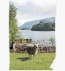 Derwentwater Sheep 1 Poster