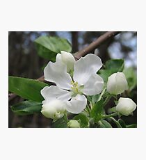Apple Blossom Beauty Photographic Print