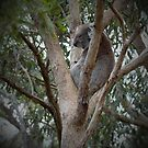 How much can a Koala Bear by Brett Conlon