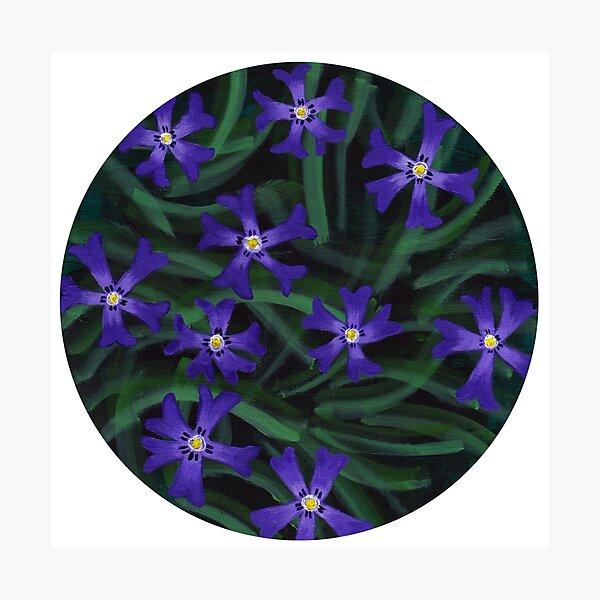 Phlox - cottage garden flowers Photographic Print