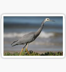 white face grey heron Sticker