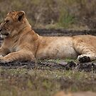 The Lioness by Stephen Smith