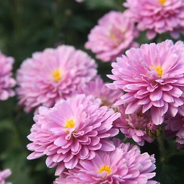 Pretty in Pink Blooming Flowers by lollylocket