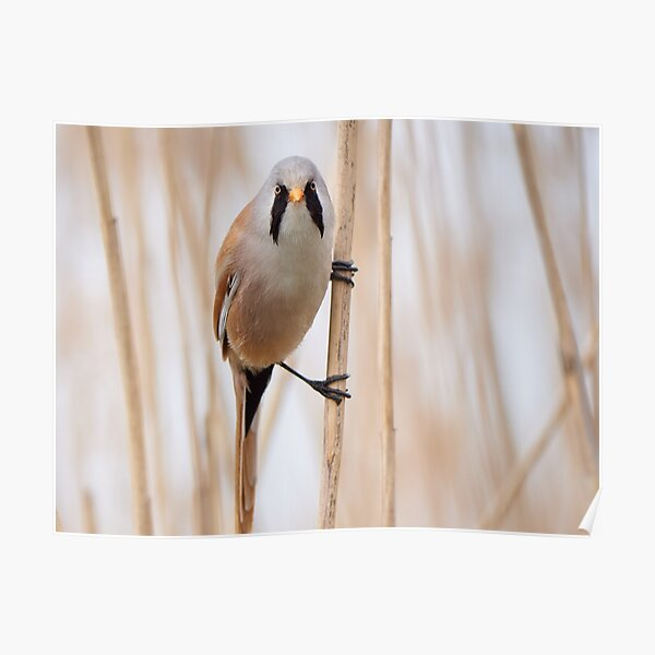 Bearded reedling hanging from a reed straw Poster