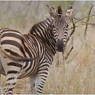 LOOKING BACK - Burchell's Zebra by Magriet Meintjes