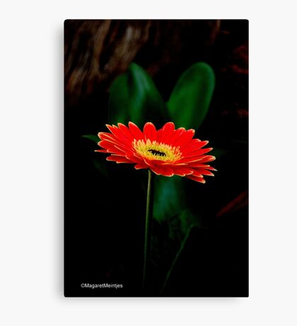 IN THE SHADE - The Barberton Daisy - Gerbera jamesonii  Canvas Print