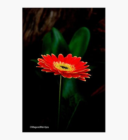 IN THE SHADE - The Barberton Daisy - Gerbera jamesonii  Photographic Print