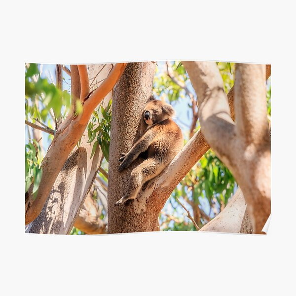 Love My Tree, Koala, Yanchep National Park Poster