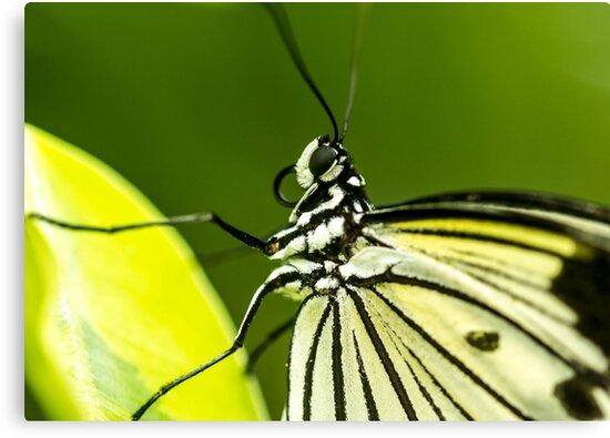 Butterfly  by jamesnphoto