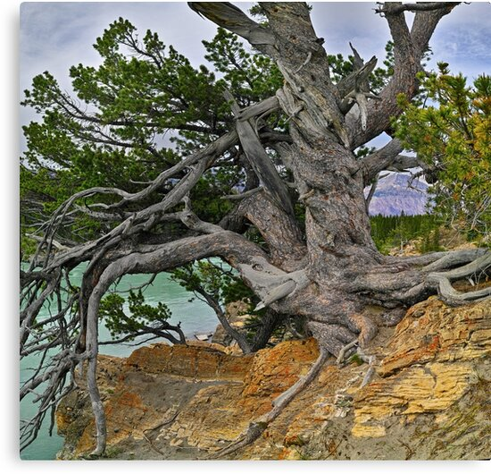 The Pine of Antiquity by Darbs