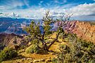 Grand Canyon - Very Old Spruce Tree by eegibson