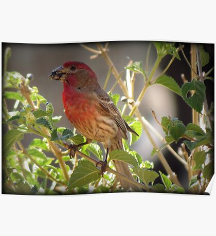House Finch (Male) Feeding Poster