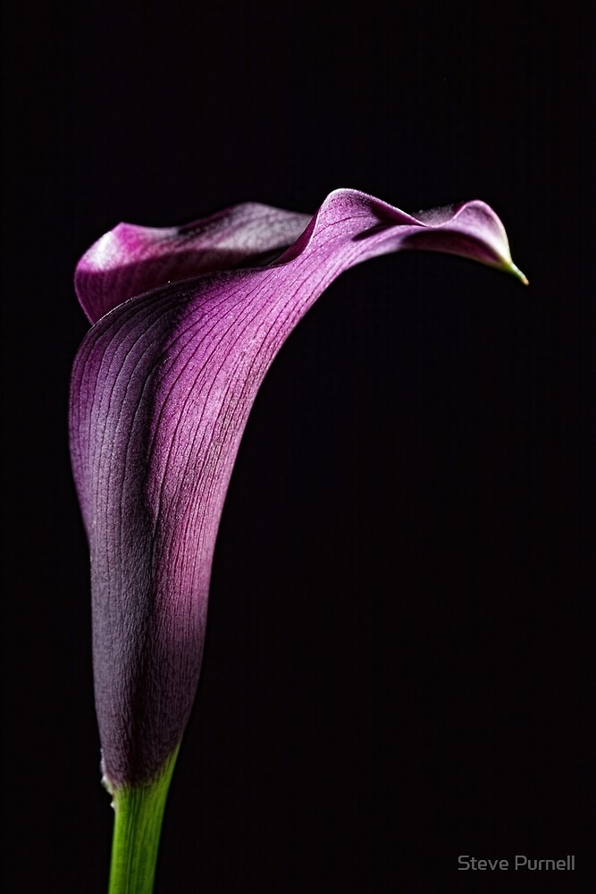 Calla 2 by Steve Purnell