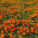 Wildflowers in Antelope Valley by Ronald Hannah