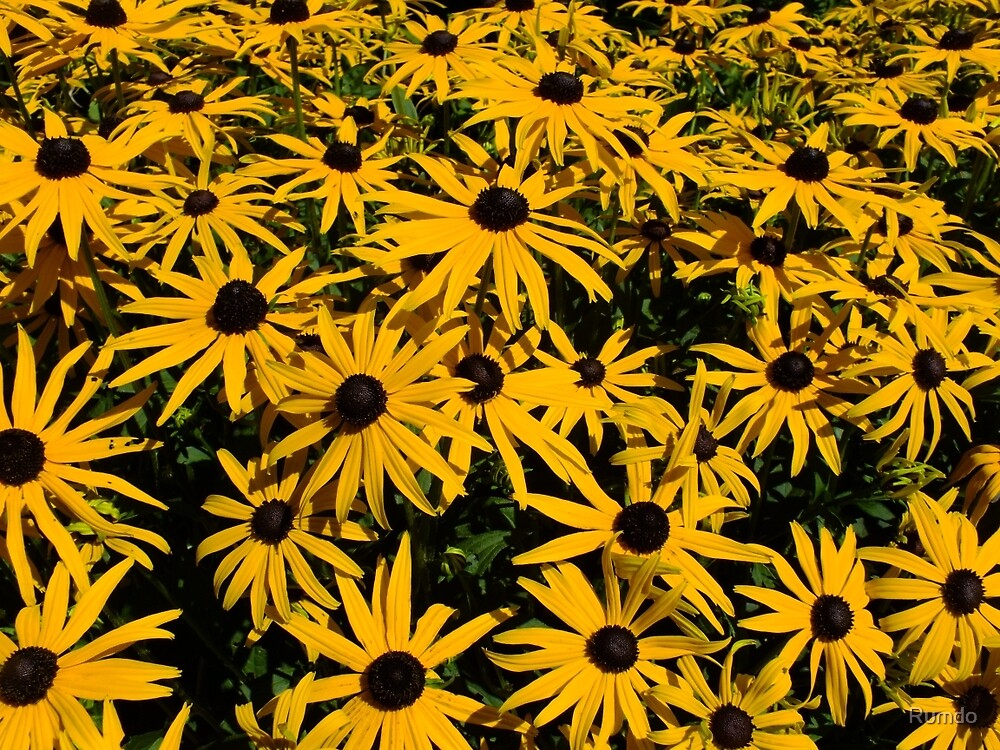 Yellow Rudbeckia by Rumdo