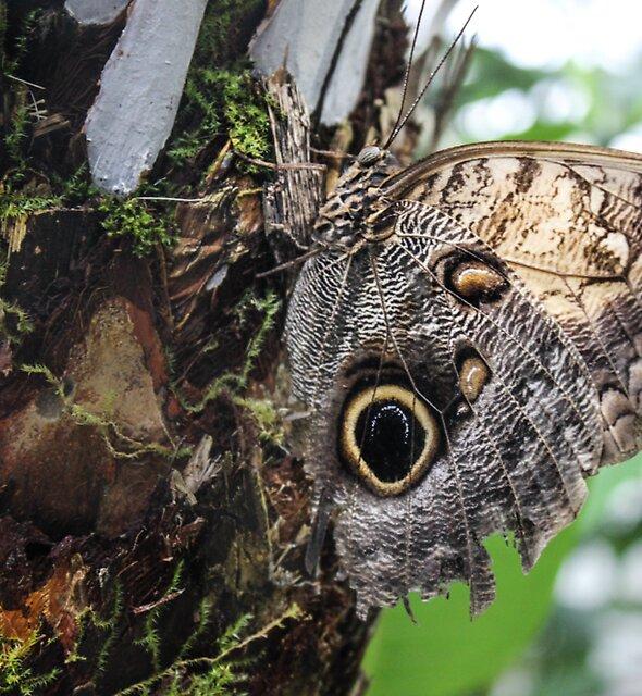 Owl Eyed Butterfly by Rachel  Roderick