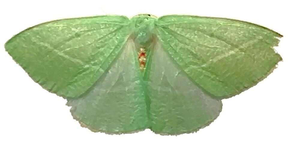 Chlorosea Banksaria (flawed wing) A by spookyluca